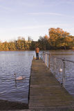 Man standing on jetty over river. With swans Royalty Free Stock Photo