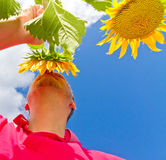 Man standing in a sun flower field - low perspective Royalty Free Stock Photos