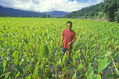 Man Standing in Taro Field, Kauai, Hawaii royalty free stock photos