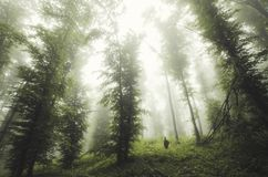 Man standing under giant trees in mysterious forest royalty free stock images