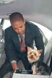 Man Straps Dog into Car. Successful young businessman straps his precious Yorkshire terrier dog into the back seat with her harness Stock Photo