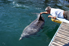 Man strokes bottlenose dolphin. In the water royalty free stock images