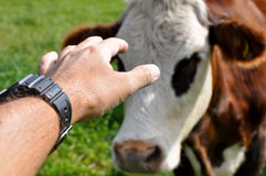 Man stroking a cow Stock Photography
