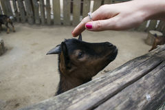 A man is stroking a kid. A man stroking a goat is very sweet and funny Royalty Free Stock Photos