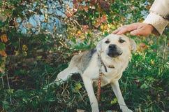 Man stroking mongrel dogs. stock image