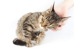 Man stroking a tabby cat. On white background Stock Photos