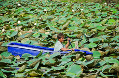 A man is stucking in the middle of lotus pond. BANGKOK, THAILAND - MAY 15: A man is stuck in the middle of lotus clump on May 15, 2012. Lotus pond with thick Royalty Free Stock Image