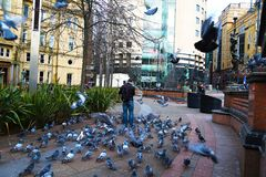 Man surronded by many pigeons royalty free stock photography