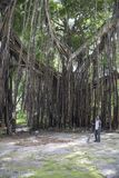 Huge banyan tree - Ficus benghalensis - in Jamaica Stock Images