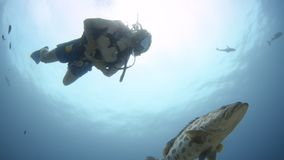 A man swimming with a giant potato cod. A full shot of a man and a potato cod swimming together in the deep blue sea stock video