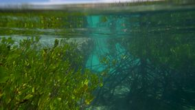 A man swimming near mangroves. A man with a diving mask and a diving garment swims near greeen and healthy mangroves. The shot was taken under a turquoise sea stock video footage