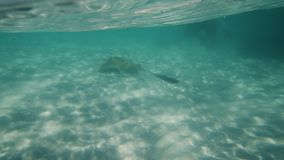 A man swimming with a stingray underwater stock footage