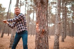 The man swung his ax to continue cutting down the tree. The man with the beard swung his ax to continue cutting down the tree on the blurred background of the Stock Photo