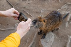 Brown coypu in wild nature and people. Man take photos of brown coypu on shore of river, close-up royalty free stock images