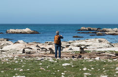 Man takes picture of seal on ocean shore Royalty Free Stock Images