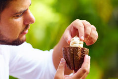 Man taking out beans from cutted cocoa pod Royalty Free Stock Photo