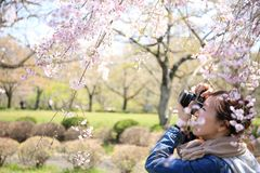 Man Taking Photo of Cherry Blossom Flower Royalty Free Stock Image