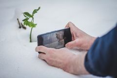 Man taking a photo of a green plant in the snow. Coming soon spring. Close-up view of the man who photographed Hellebore plant Helleborus odorus with phone in stock photography