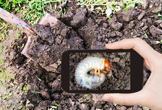 Man taking photo of grub of cockchafer in garden Stock Photo