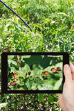 Man taking photo of insecting colorado potato bug. Garden concept - man taking photo of insecting colorado potato bug on mobile gadget in garden stock images