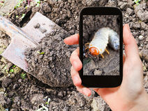 Man taking photo of larva of cockchafer in garden Royalty Free Stock Images