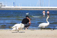 A man taking photo of swans on the sandy beach in Sopot, close to pier, Sopot, Poland. SOPOT, POLAND - JUNE 6, 2018: A man taking photo of swans on the sandy Royalty Free Stock Photo