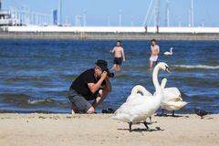 A man taking photo of swans on the sandy beach in Sopot, close to the pier, Sopot, Poland. SOPOT, POLAND - JUNE 6, 2018: A man taking photo of swans on the sandy Stock Image