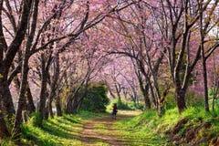 A man taking photo under cherry blossom (sakura). Trees Royalty Free Stock Image