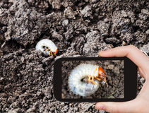 Man taking photo of white grub of cockchafer Stock Image