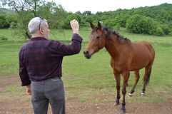 Man Taking Photo of Young Horse. Green countryside. Adult man face to face with a young brown horse. The man takes photos with his mobile phone Stock Images