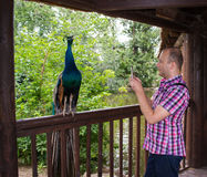 Man taking picture of peacock in the zoo Stock Images