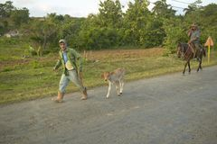 Man taking small calf in the Valle de Vi�ales, in central Cuba Stock Images