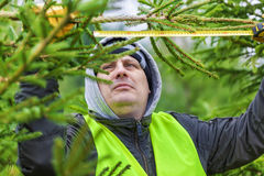 Man with tape measure near the spruce branch in forest Royalty Free Stock Image