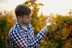 Man tasting white wine in a vineyard stock photography