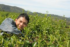 Man at tea plantation Stock Image