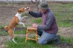 Man teaching cute basenji dog simple tricks. In spring garden stock photography