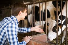 Technician worker with milky cows in cowhouse outdoors. Man technician working with milky cows in cowhouse outdoors Stock Image
