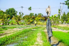 Man tending his garden plot of vegetables and rice with hat and. CHAING MAI THAILAND - FEBRUARY 2 2018; Man carrying bucket tending his garden plot of vegetables Royalty Free Stock Image