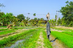 Man tending his garden plot of vegetables and rice with hat and. CHAING MAI THAILAND - FEBRUARY 2 2018; Man tending his garden plot of vegetables and rice with Stock Photos