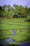 A man tending his rice fields Royalty Free Stock Photo