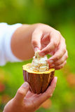 Man tests ripe cocoa beans inside a pod Royalty Free Stock Images