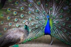 Man till kvinnliga påfågelpåfågelskärmar av affektion Royaltyfri Bild