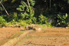A man tills a rice field on the island of Sri Lanka. Royalty Free Stock Images