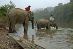 Man on top of an elephant in the Mekong river Stock Photos