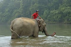 Man on top of an elephant in the Mekong river to wash the mammal Stock Image