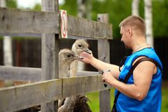 The man touches an ostrich for the head. The man touches an ostrich for head stock photos