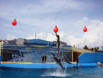 Man touching the baloon. Dolphins show in the national aquarium in cuba Stock Images