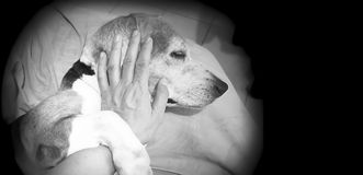 Man touching his cute and Lovely sick old Beagle. Stock Images