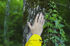 Man touching old tree. Wild nature protection concept Royalty Free Stock Image