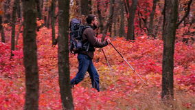 Man tourist in a blue jacket with a backpack hikes in the autumn forest stock video